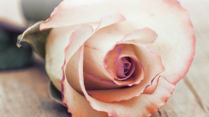 A pink dipped white rose